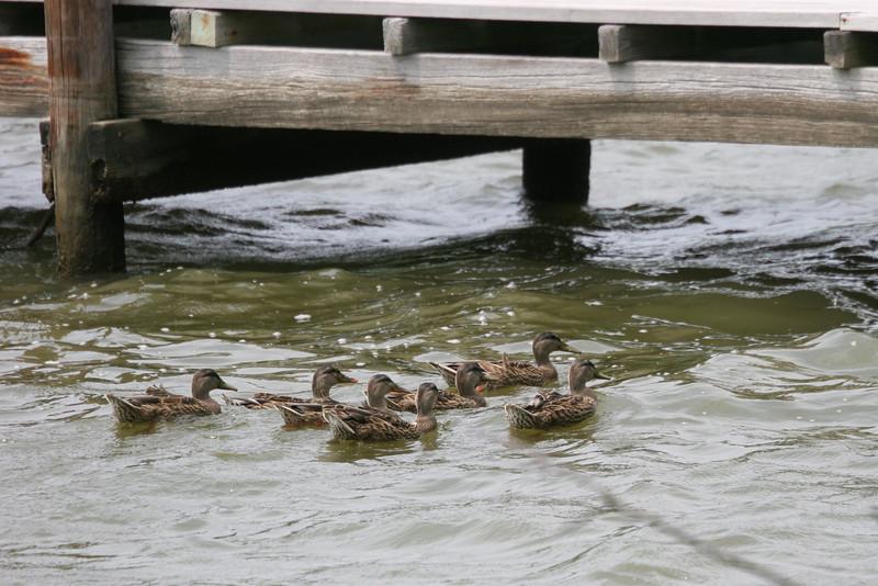 ducks on the move