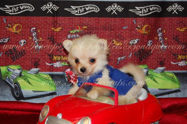 "Pomeranian Adult # 2529 ""Scooter"""