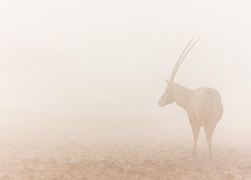 Arabian Oryx (1).jpg