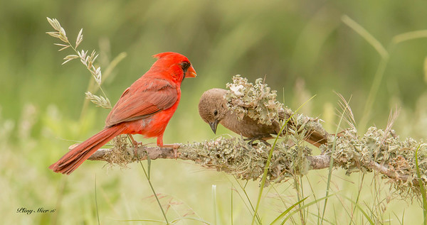 Northern Cardinal with Finch