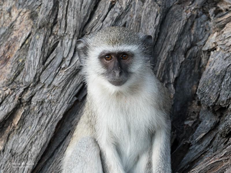 Vervet Monkey, Savuti, Chobe NP, Botswana, May 2017-2.jpg