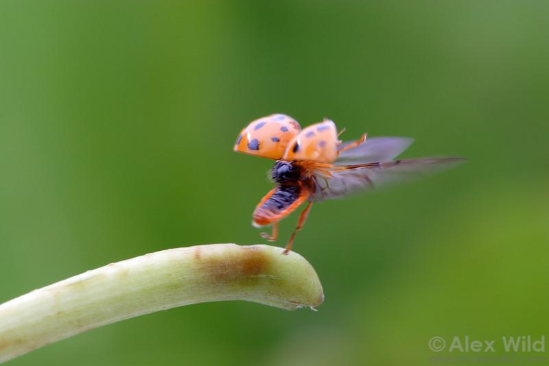 Harmonia axyridis - Asian Multi-Colored Ladybeetle, taking flight.  Illinois, USA.  filename: Harmonia3