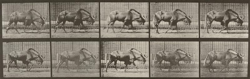 Gnu walking (Animal Locomotion, 1887, plate 701)