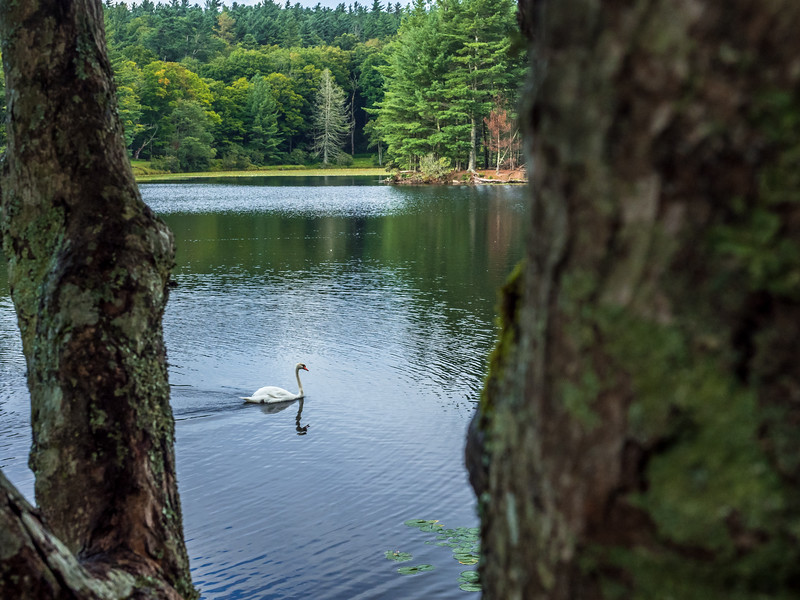 55 Aug xx Swan between the trees xxx-1.jpg