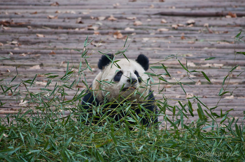 Panda_with_bamboo_Chengdu_Sichuan_China.jpg