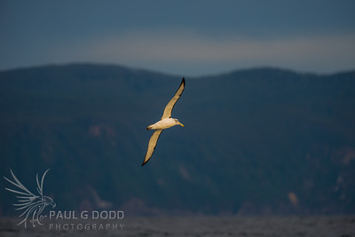 Eaglehawk Neck, Tasmania Pelagic, Jul 2013