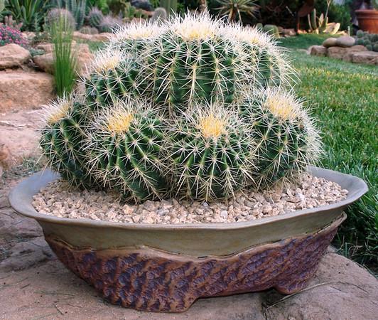 Enchinocactus grusonii1.jpg