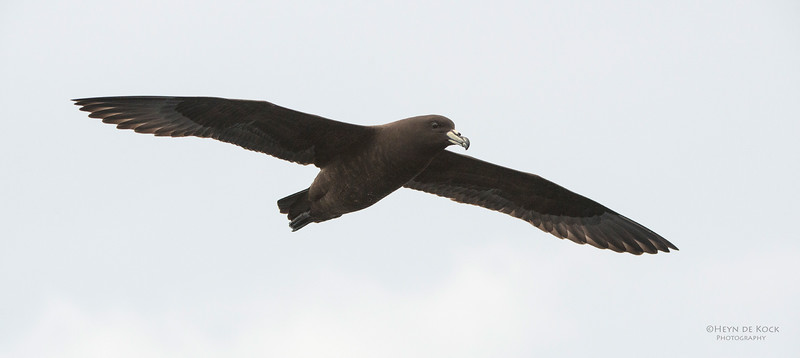 Black Petrel, Wollongong Pelagic, Nov 2013-4.jpg