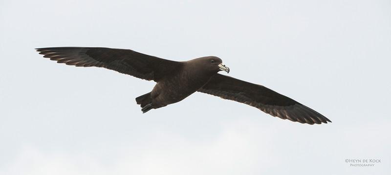 Black Petrel, Wollongong Pelagic, Nov 2013-4.jpg