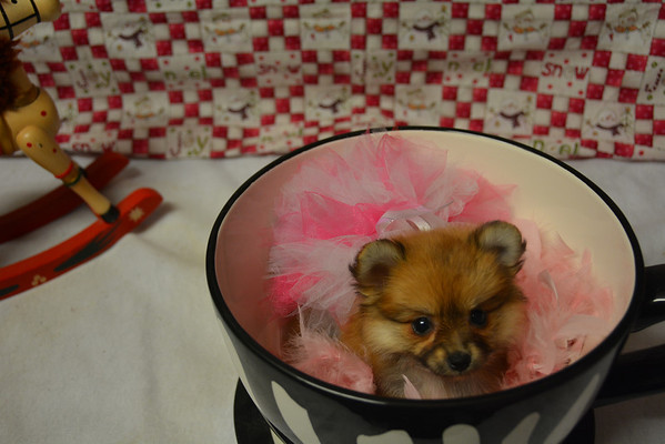 Female Pomeranian Puppy # 2840