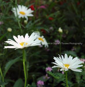 023-flower_daisy-warren_co-10jul08-3251