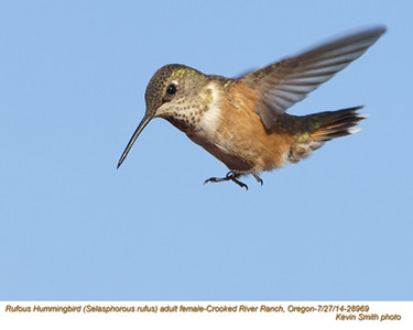 Rufous Hummingbird F29132.jpg