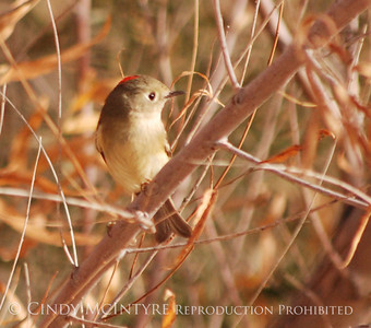 Big Bend Warblers, Kinglets, Vireos
