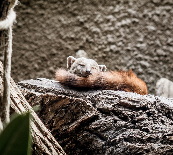 Sleeping mongoose in Berlin Zoo