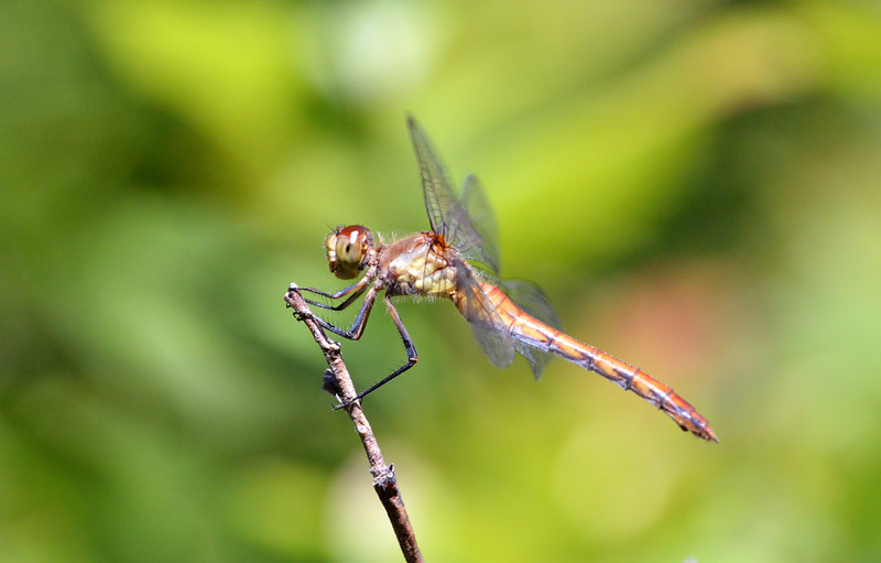 Dragonfly-KenBog-July2015.jpg