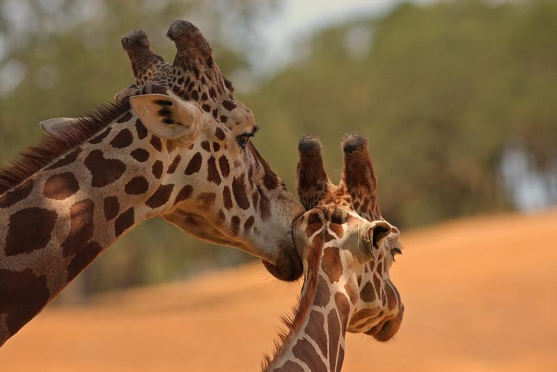 Masai Giraffe mom cleaning young giraffe (Safari West, Santa Rosa)