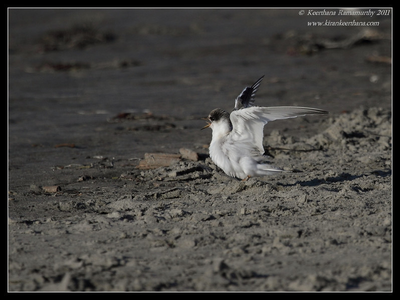Juvenile Least Tern calling for food, Robb Field, San Diego River, San Diego County, California, July 2011