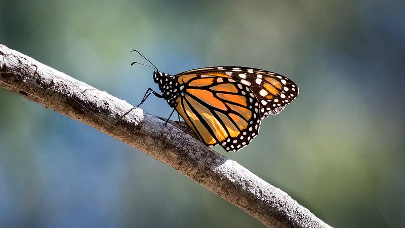 Monarch Butterfly Danaus plexippus Pismo Beach Butterfly Garden 2.jpg
