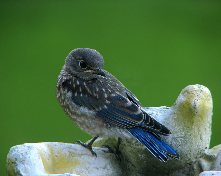 bluebird_fledgling_4554.jpg