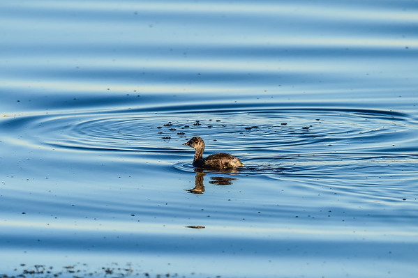 7-20-15 Eared Grebe Family- Twilight Time