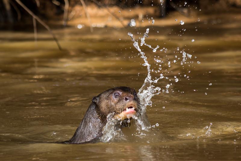 Giant Otter Splashing-2.jpg