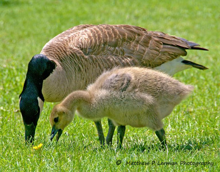 316 Canada Goose w chick_150.jpg
