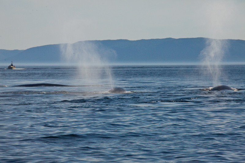 2011 quebec whale watching (37 of 80).jpg