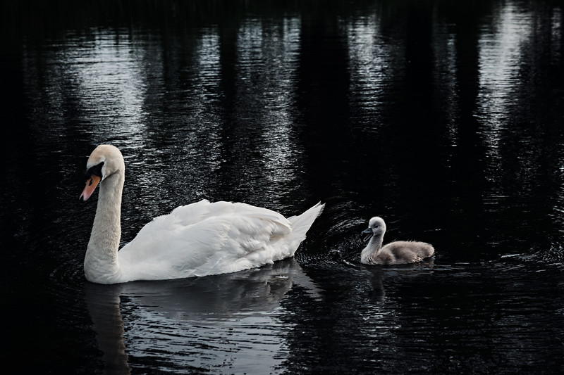Swans_Of_Castletown036.jpg