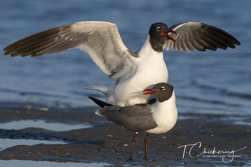 Laughing Gull Mating.jpg