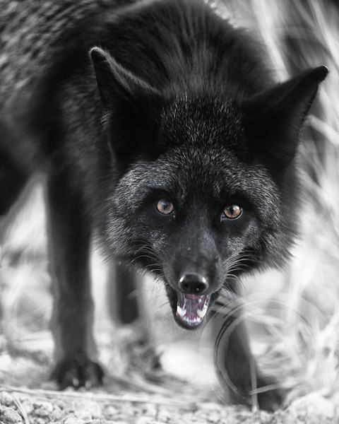 Black fox in B&W