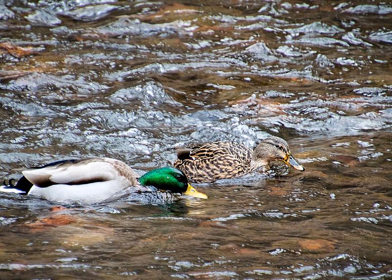 Ducks_01.jpg