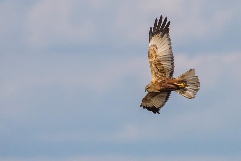 Western Marsh Harrier (Rohrweihe)