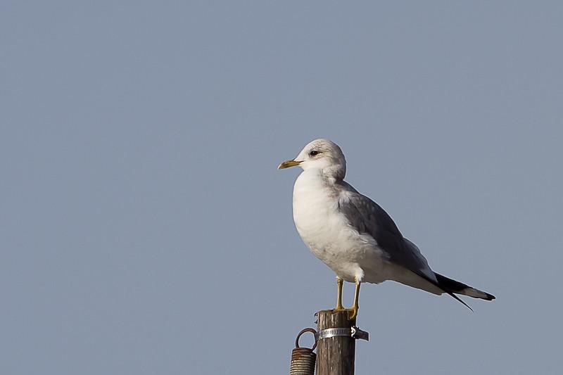 Mew-Gull-2011-01-1408.jpg