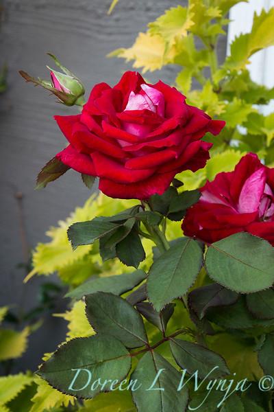 Rosa 04-00578 0r 06-02042_5283.jpg
