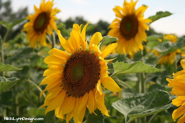 Sunflowers are grown as an annual flowering plant, They will grow quickly, bloom profusely and later die with the first killing frost. Sunflowers are best sown outdoors as a border plant, along fences, or in fields by the masses. They will bloom throughout the summer months and seeds can be collected at the end of the season.