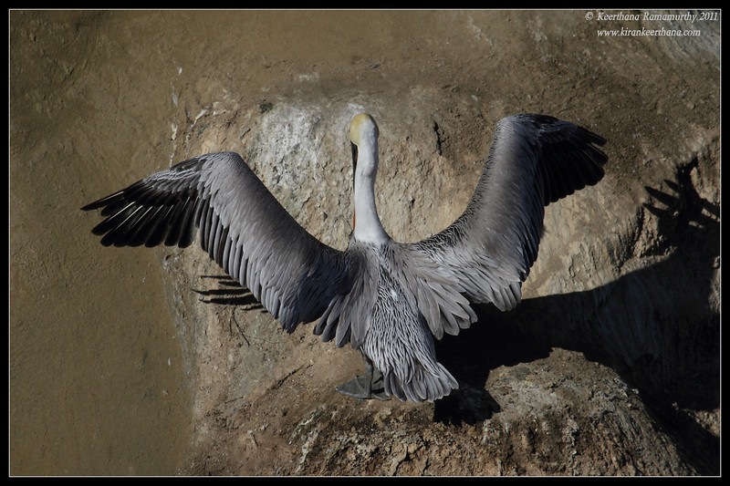 Brown Pelican drying its wings, La Jolla Cove, San Diego County, California, October 2011