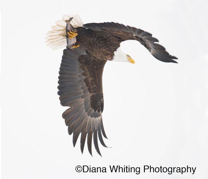 Bald Eagle 4 copy.jpg