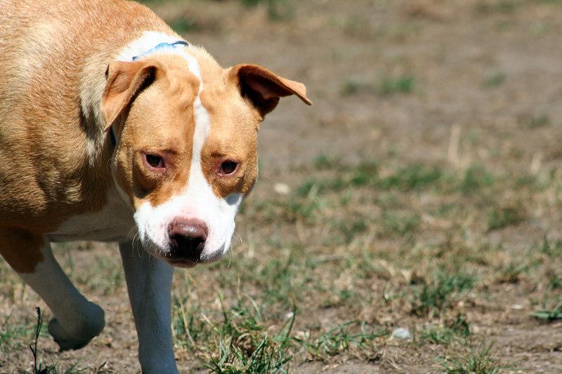 Baby - American Pitbull Terrier