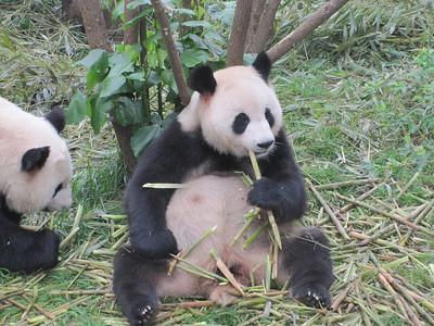 June 2011: Chengdu and the Giant Pandas