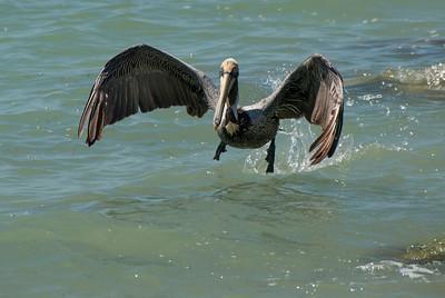 Shore Birds & More Pelicans