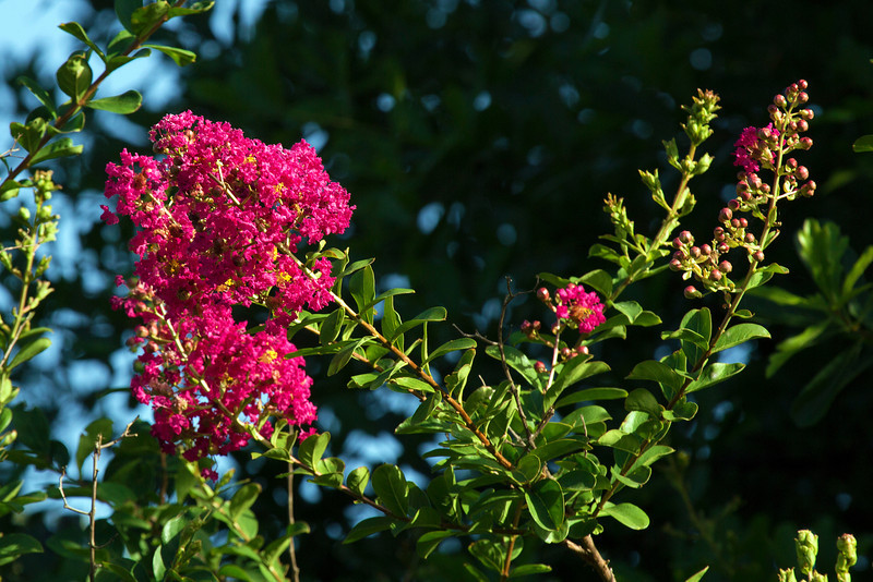 The Crepe Myrtle just coming into bloom