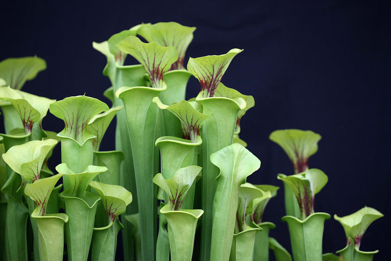 . Pitcher plants are displayed on the Hewitt-Cooper Carnivorous Plants stand in The Great Pavilion at the RHS Chelsea Flower Show on May 21, 2013 in London, England. The Chelsea Flower Show run by the RHS celebrates its 100th birthday this year.  (Photo by Oli Scarff/Getty Images)