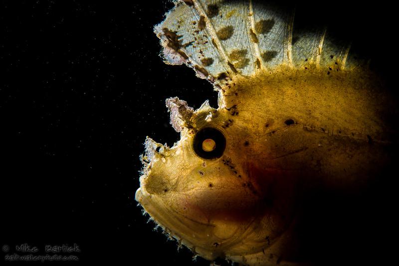 Backlit leaf scorpionfish (1 of 1).jpg