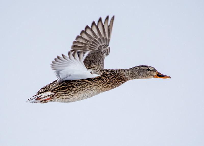 ducks-10.jpg