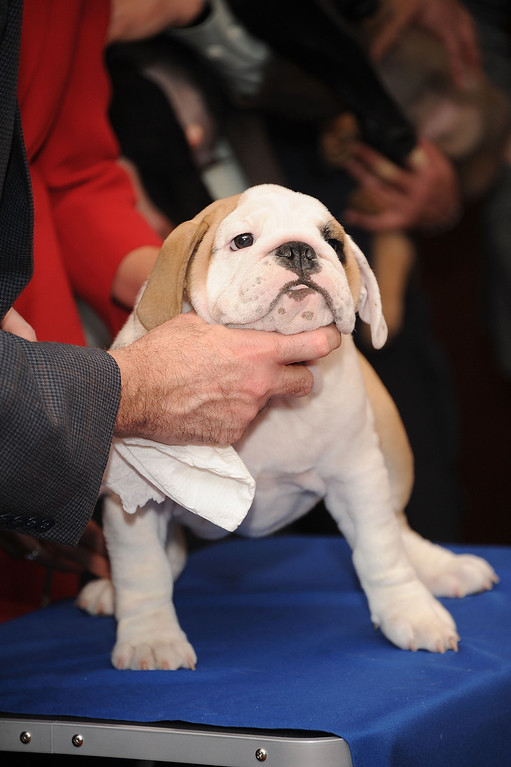 . The face is the thing. Dominique, a bulldog puppy poses for pictures as a American Kennel Club press conference.  (Photo by Gary Gershoff/Getty Images for the American Kennel Club)