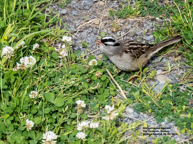 a624 1528 IMG_1100 3T White-crowned Sparrow Cap Tormente Quebec.jpg