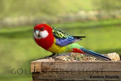 Eastern Rosella, Australia
