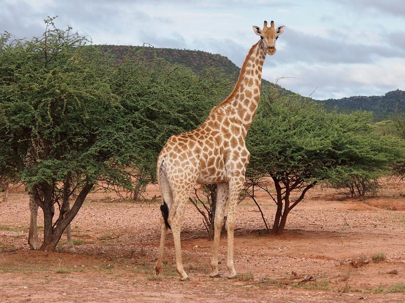 P3281191-lone-giraffe.JPG