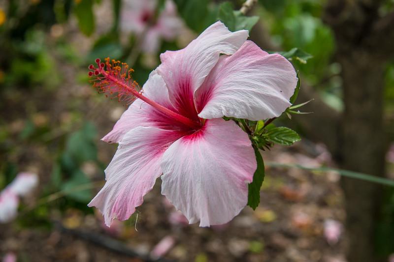 Hibiscus, Jardin de la Marquesa, Arucas