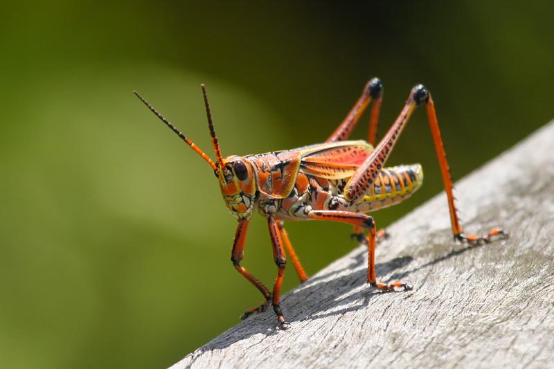 Eastern Lubber Grasshopper (Romalea microptera)